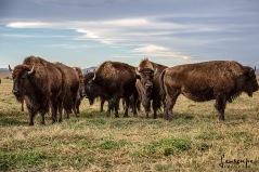 Buffalo Herd-96